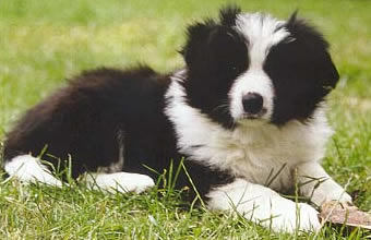 Border Collie pup with bone