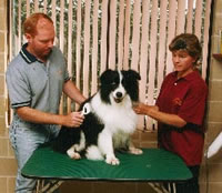 Grooming a border collie